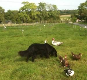 ducks on grass 2