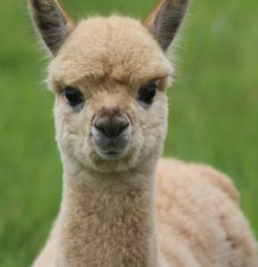 LANA FIRST CRIA BORN AND CONCEIVED