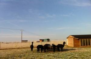 alpaca frosty morning