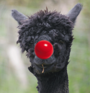 RED NOSE BLACK ALPACA WEB