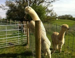 alpaca fencing