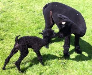 black cria birth