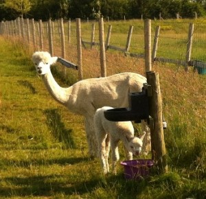 cria drinking WEB