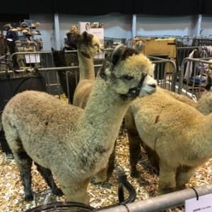 bas national alpaca