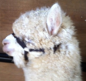 haltered cria 2