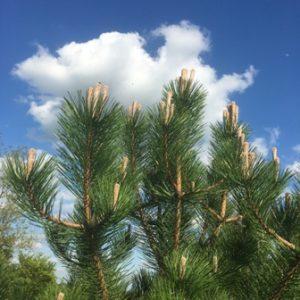 blue sky pine cones