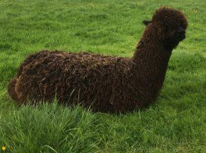 needing shearing black cria