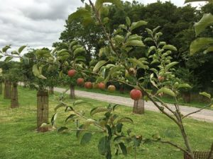 orchard apples 3