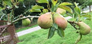 orchard pears 2