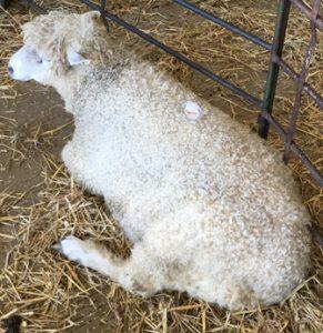 sheep-14