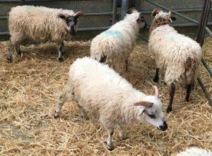 sheep-3jpg