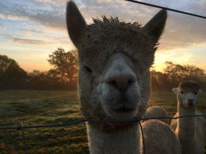 alpaca-head-shot