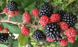 big-blackberries