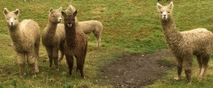 alpaca-cria-mudbath-2