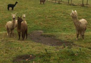 alpaca-cria-mudbath