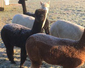 alpaca-frost-1