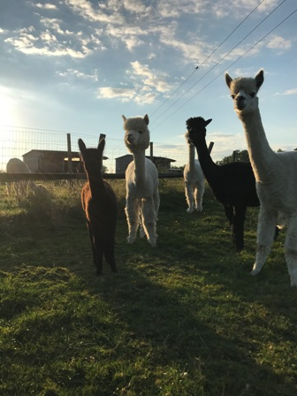 Goodbye July U2013 Hello August 207 At Kensmyth Alpaca Farm!